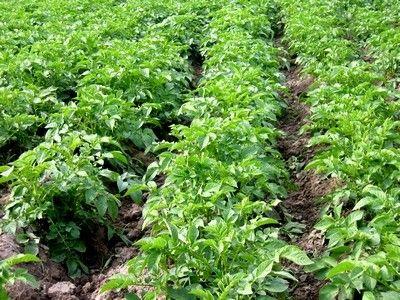Схема відбору зразків картоплі для аналізу на нітратний азот